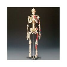 Human Skeleton Model Anatomical Anatomy Medical School Bone Education Body