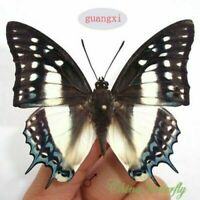 10 pcs unmounted butterfly nymphalidae polyura eudamippus CHINA A1 A1-