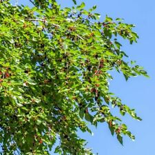 2000+ seeds of Red Mulberry Morus rubra from Canada