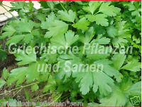 🔥🌿 griechische Petersilie glatt  Riesenblätter 30 cm hoch 100 Samen Kräuter