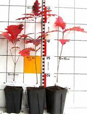 Quercus coccinea  - Eichenart  mit herrlicher Herbstfarbe    -Pflanze-