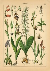 1885 ORCHIDS ORCHID FLOWERS Antique Lithograph Print Willkomm