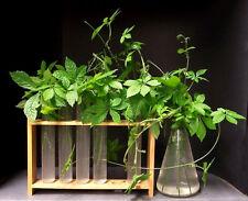 Gynostemma pentaphyllum - Jiaogulan - 25 semillas - seeds