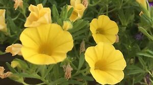 PETUNIA Kabloom Calibrachoa Series YELLOW 20 QUALITY fresh Seeds
