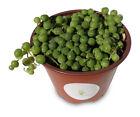 Large String of Pearls Succulents Senecio Rowleyanus FREE SHIPPING
