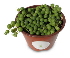 Large String of Pearls Succulents Senecio Rowleyanus