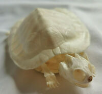 Real Complete tortoise skeleton.Real animal bone.Exquisite works of Art/ 4.5""