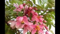 Cassia Nodosa, Rosa-Weiss-Kassie, Pink-and-White-Shower, 10 Samen, 10 seeds