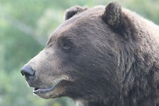 Brown Bear - Volume 2 Taxidermy Reference Photo Cd