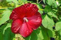 der Riesen-Hibiscus hat wunderschöne große Blüten !