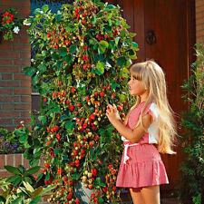 100pcs Tree Climbing Red Strawberry Seeds Courtyard Garden Fruit Potted Bonsai