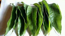 30+ Fresh MANGO Leaves 100% ORGANIC Natural Healthy Tea Leaf FREE SHIPPING