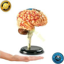 Brain Learning Model Human Resources Anatomy Cross Section Medical Models Body