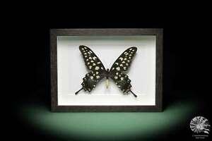 Pharmacophagus antenor Papilionidae Präparate taxidermy butterfly Deko Insekt