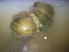New listing 50 Live Large Trapdoor Snails Freshwater Aquarium Pond Algae Eaters + 5 Free!