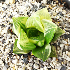 HAWORTHIA RETUSA VARIEGATED EXOTIC PLANTS FOR SALE SUCCULENTS COLLECTIBLE