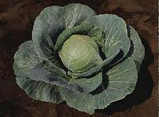 Cabbage Stonehead Vegetable Seeds