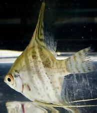 Angel Fish X Large Live Tropical Fish FROM TANK TO YOUR DOOR SAME DAY DELIVERY
