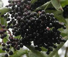 American black Elderberry fruit plant shrub small tree great Pies edible berries