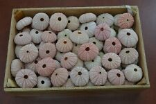 50 PCS BULK PINK SEA URCHINS SEA SHELL BEACH WEDDING NAUTICAL #7396
