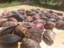 Terminalia Catappa, Indian Almond, Almond Seeds for plant garden shading Tree
