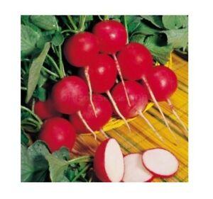 Giant Radish Gigante Siculo 25+ Seeds Easy Autumn Root Salad Vegetable Garden UK