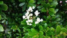 Viburnum obovatum Walter'S Viburnum - Evergreen Shrub Seeds!