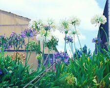 Lily of the Nile - AGAPANTHUS PRAECOX -White- 15 Seeds Flowers