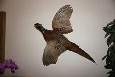 ## stuffed male Pheasant # bird # taxidermy, trophy # 3