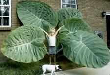 Colocasia Gigantea (Thailand Giant)  - Hardy tropical, Banana, Elephant Ear