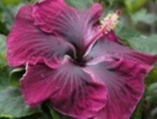 * Black Dragon * Rooted Tropical Hibiscus Plant*Ships In Pot*