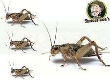 Pet Lizard Live Cricket Feeders - Alive Insect Crickets Reptile & Amphibian Food