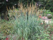 200 graines d' HERBE DES INDIENS(Sorghastrum Nutans)FAUX SORGHO G861 SEEDS SAMEN