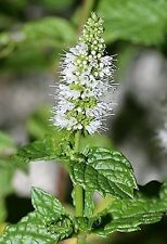500 SPEARMINT English Mint Mentha Herb Flower Seeds