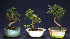 Chinese Elm Bonsai Outdoor/Indoor Small Beginner Bonsai Tree Ce9005