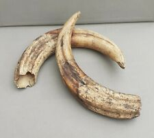1900´s ANTIQUE TAXIDERMY PAIR HUGE AFRICAN WILD BOAR TUSKS