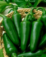 Jalapeno Pepper Seeds, Tam Jalapeno Seed, Heirloom Hot Pepper Seed, Non-Gmo 50ct