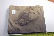 B.J.F. Eurypterus remipes   (Sea Scorpion) from New York State, USA -  No 93