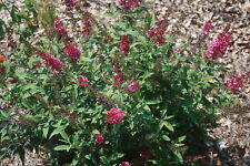 BUDDLEIA 'CRANRAZZ'  - BUTTERFLY BUSH - FRAGRANT -  STARTER PLANT