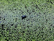 Aquatic fresh water plant, duck weed