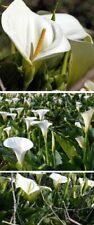 Scheincalla Teichpflanzen wasserreinigend winterhart immergrüne Wasserpflanzen