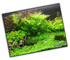 Carpeting Plants - Live Aquatic Aquarium Tropical Fish Tank Plants Shrimps Easy