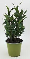 Gewürz Lorbeer Laurus Nobilis Gewürzpflanze PT 14 cm / 1617392365