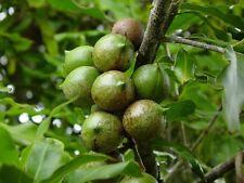 2 graines NOYER DU QUEENSLAND(Macadamia Integrifolia)NOIX NUT H154 SEEDS SAMEN