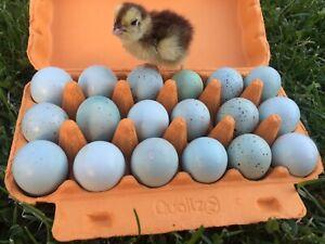 "CELADON Wachteleier "" Wachteln Eier Wachtel 40 Stk"