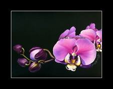 Grabado Botánico Phalaenopsis por me garmashova