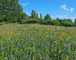 Wildblumenwiese Bienenweide - Wildblumen Blumenwiese 500g für ca. 75 -100m²