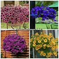 500 Trailing Petunia Seeds Hanging Petunia Hybrida Flower Blue Purple multicolor