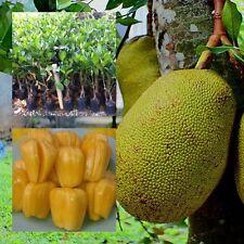 "Jackfruit Tree plant grafted ""ThongPhase"" Tall 18"" jack tree, jakfruit From Thai"
