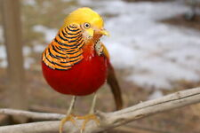 6+ Pure Red Golden Pheasant Hatching Eggs - 9a